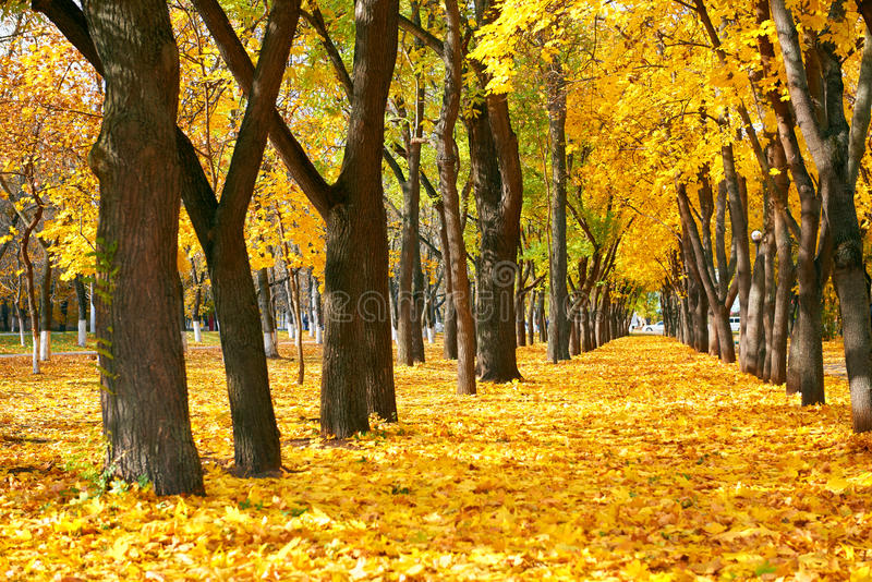 City park at autumn season, trees in a row with fallen yellow leaves, bright beautiful landscape at sunny day royalty free stock photos