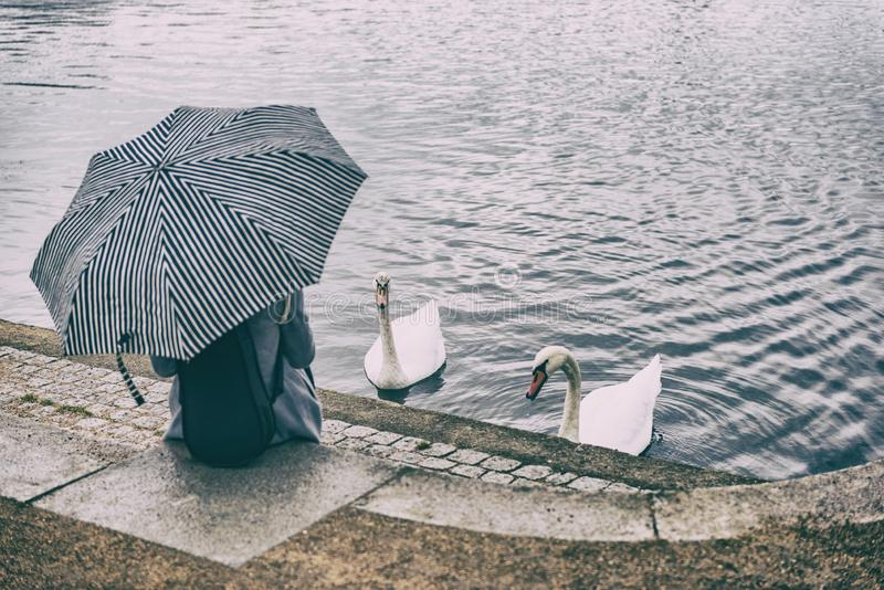 City park lifestyle scene of woman relaxing by pond feeding two swans outdoor. Person holding umbrella under rain sitting at urban royalty free stock photos