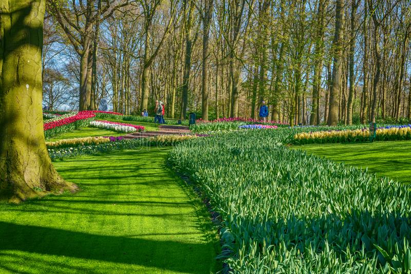 City park on a spring sunny day. A large number of the first spring tulips.  stock photo