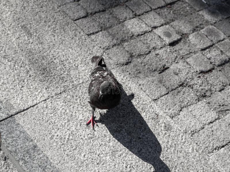 City pigeon on gray city street royalty free stock photos