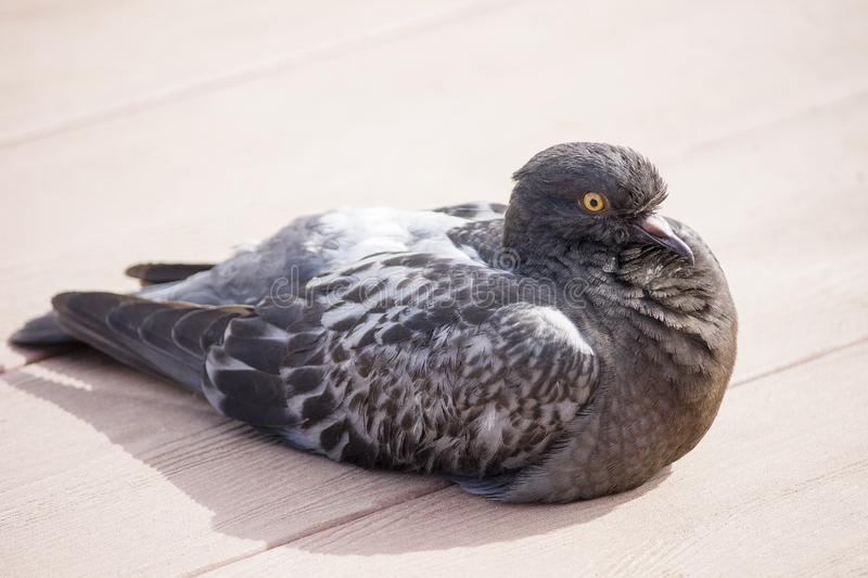 City pigeon sitting on wooden boards and resting basking in the sun stock image