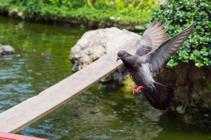 Flying city pigeon spread its wings. Scene in the park stock photos