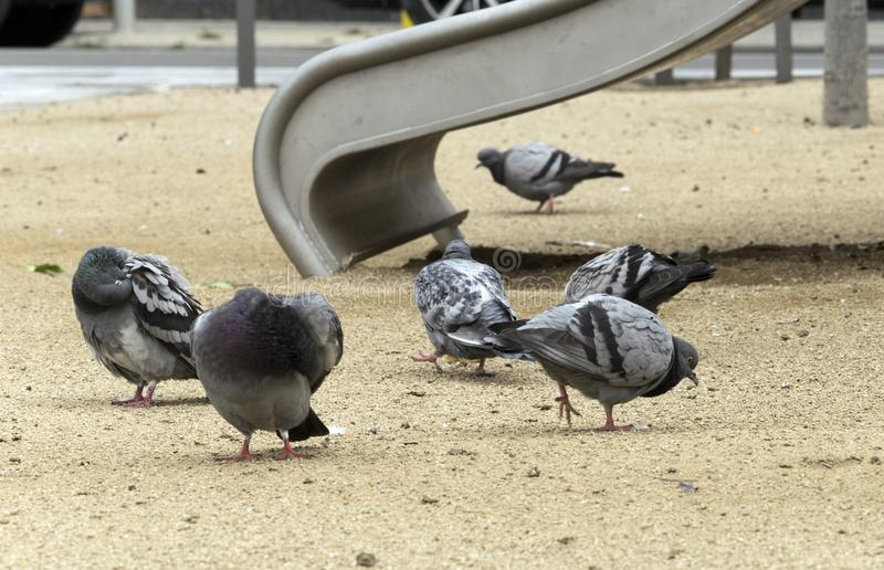 City pigeons. Group of pigeons gathered in a city playground stock photos