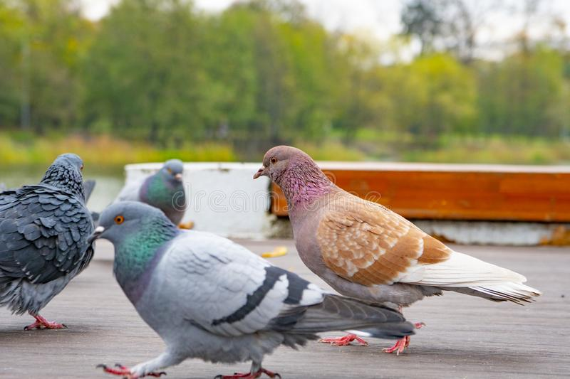 City pigeons walk in the Park stock photo