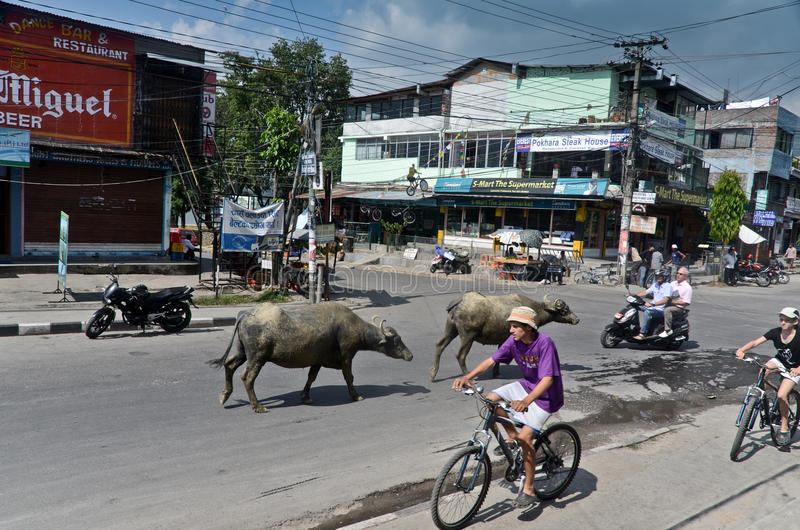 City of Pokhara, Nepal. Tourists on bicycles and yaks walking around the town of Pokhara , Nepal stock photo