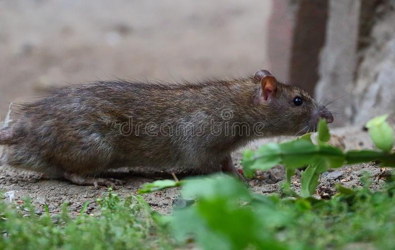 City rat sneaks around sniffing royalty free stock photo