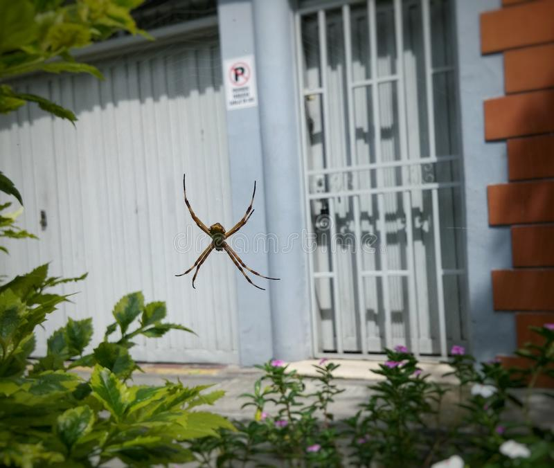 Big spider, Argiope argentata, hanging from its web stock image