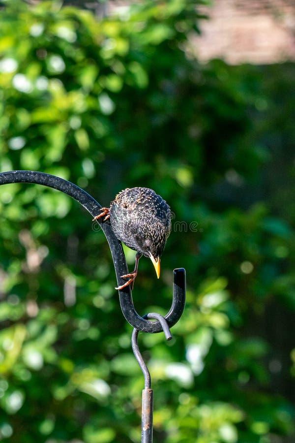 City wildlife as a starling Sturnus vulgaris wild bird perches on a garden suet bird seed feeder. Urban wildlife as a starling Sturnus vulgaris wild bird perches stock image