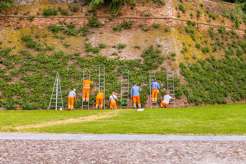 City workers collecting capers from medieval walls royalty free stock images