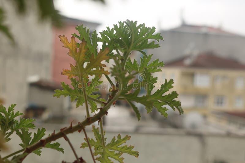 citygeranium λαχανικών γερανιών geraniuminpots vegetablesinpots στοκ φωτογραφίες με δικαίωμα ελεύθερης χρήσης