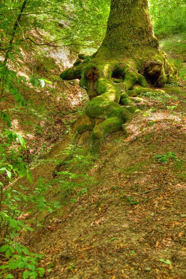 ciucaru森林母马根源结构树 免版税图库摄影