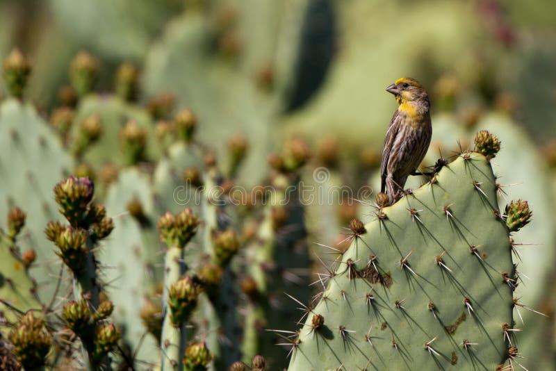 Ciuffolotto messicano, mexicanus del Carpodacus fotografia stock libera da diritti