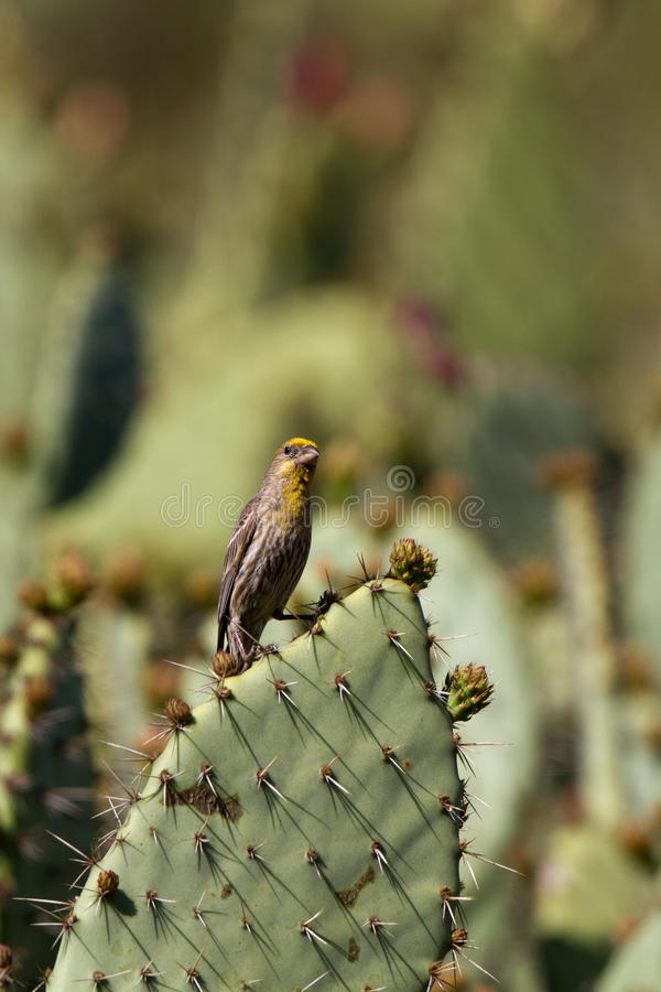 Ciuffolotto messicano, mexicanus del Carpodacus fotografia stock