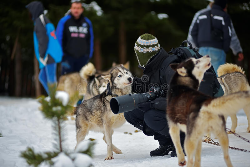 """CIUMANI RUMÄNIEN †""""JANUARI 2016: Unindentified fotograf som daltar en alaskabo malamute på hundslädekonkurrens royaltyfria bilder"""