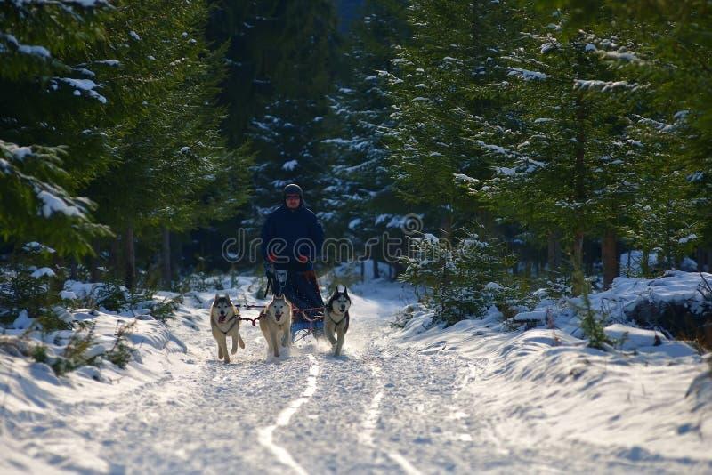 """CIUMANI RUMÄNIEN †""""JANUARI 2016: Unindentified musher som rider alaskabo malamutes på hundslädekonkurrens i Ciumani, Rumänien royaltyfria bilder"""