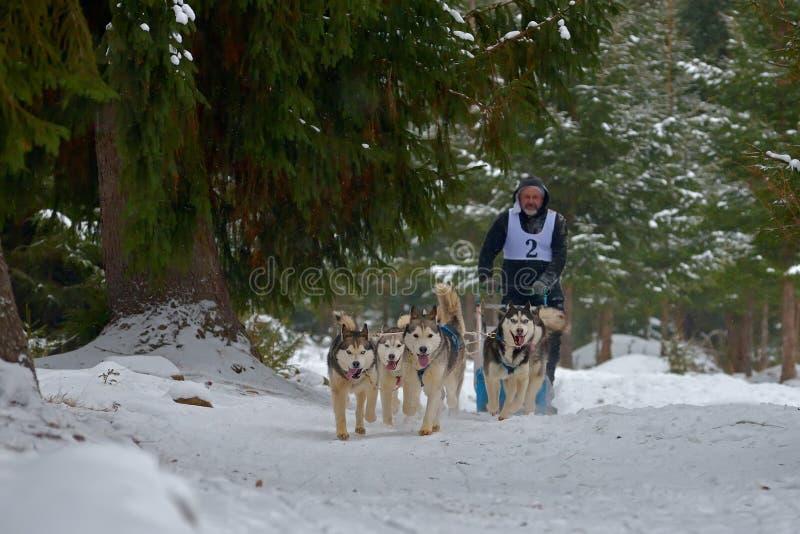 "CIUMANI RUMÄNIEN †""JANUARI 2016: Unindentified musher som rider alaskabo malamutes på hundslädekonkurrens i Ciumani, Rumänien royaltyfri fotografi"
