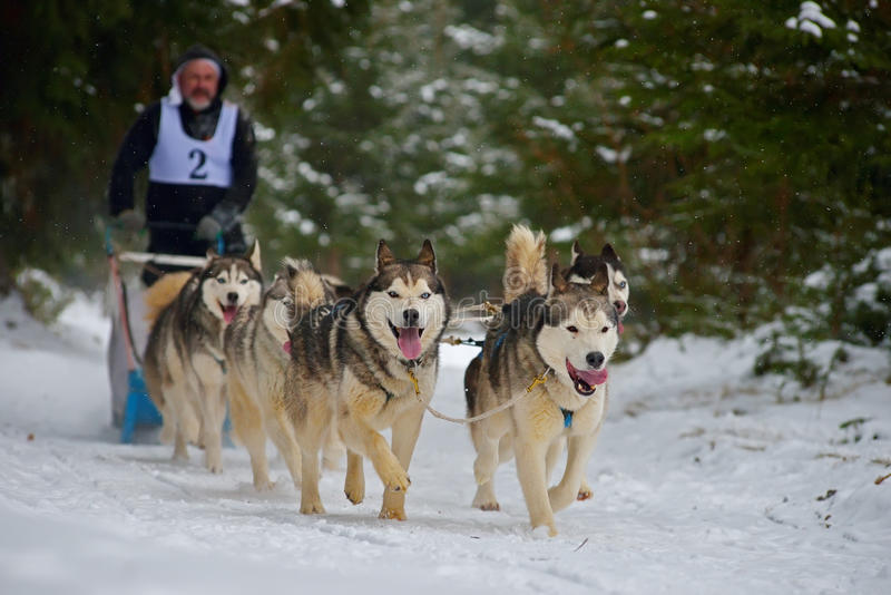 """CIUMANI RUMÄNIEN †""""JANUARI 2016: Unindentified musher som rider alaskabo malamutes på hundslädekonkurrens i Ciumani, Rumänien royaltyfri foto"""