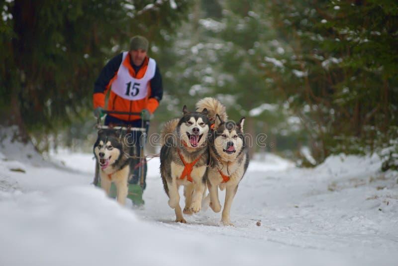 "CIUMANI RUMÄNIEN †""JANUARI 2016: Unindentified musher som rider alaskabo malamutes på hundslädekonkurrens i Ciumani, Rumänien arkivbild"