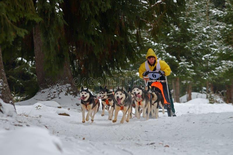 "CIUMANI RUMÄNIEN †""JANUARI 2016: Unindentified musher som rider alaskabo malamutes på hundslädekonkurrens i Ciumani, Rumänien royaltyfri bild"