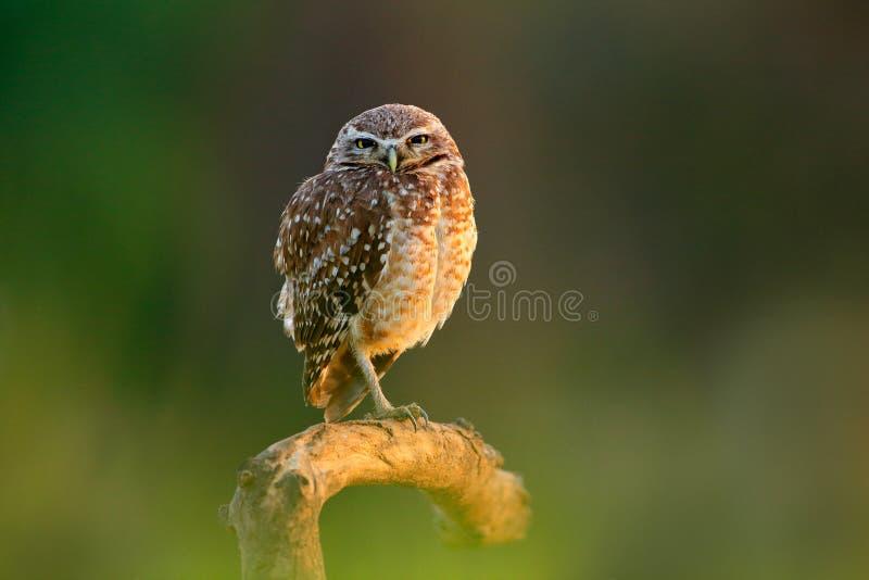 Civetta del Brasile Burrowing gufo, cunicularia delle atene, uccello notturno con la bella luce del sole di sera, animale nell'ha immagini stock