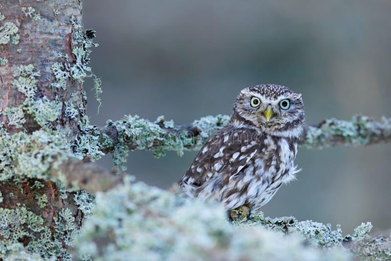 Civetta, noctua delle atene, nella foresta del larice di autunno in Europa centrale, ritratto di piccolo uccello nell'habitat del fotografia stock libera da diritti