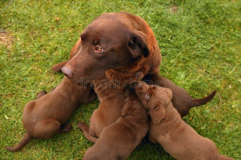 Civière de crabot de chien d'arrêt de Brown Labrador des chiots image libre de droits