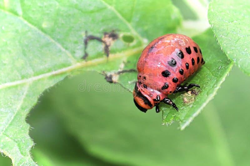 Ckoseup d'un scarabée Larave de Potatoe sur un fond vert photos libres de droits