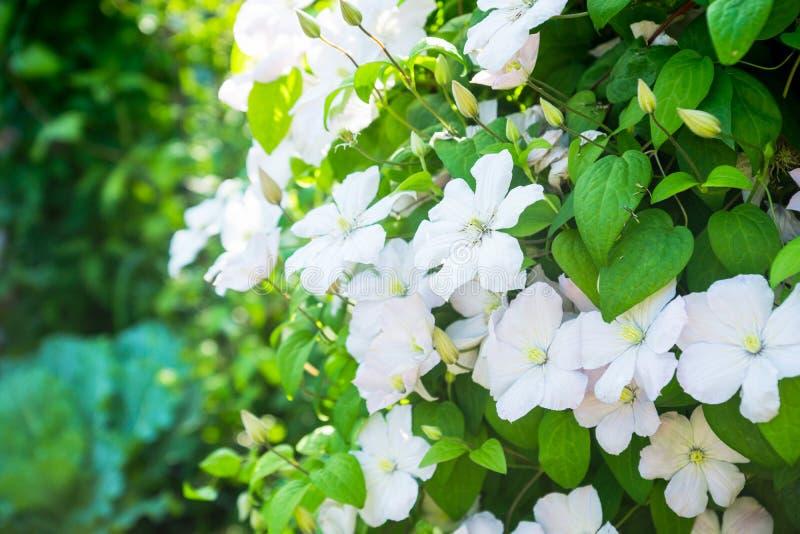 Clématite de floraison de ` de Madame Le Coultre de ` dans le jardin images stock