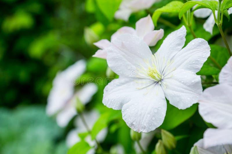 Clématite de floraison de ` de Madame Le Coultre de ` dans le jardin photographie stock libre de droits