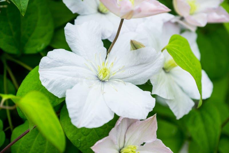 Clématite de floraison de ` de Madame Le Coultre de ` dans le jardin photographie stock