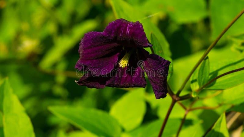 Clématite pourpre Jackmanii de fleur au plan rapproché de parterre, foyer sélectif, DOF peu profond image stock