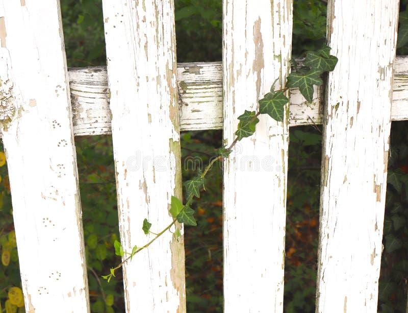 Clôture blanche usée d'Ivy Vine Grows Diagonally Across photos stock