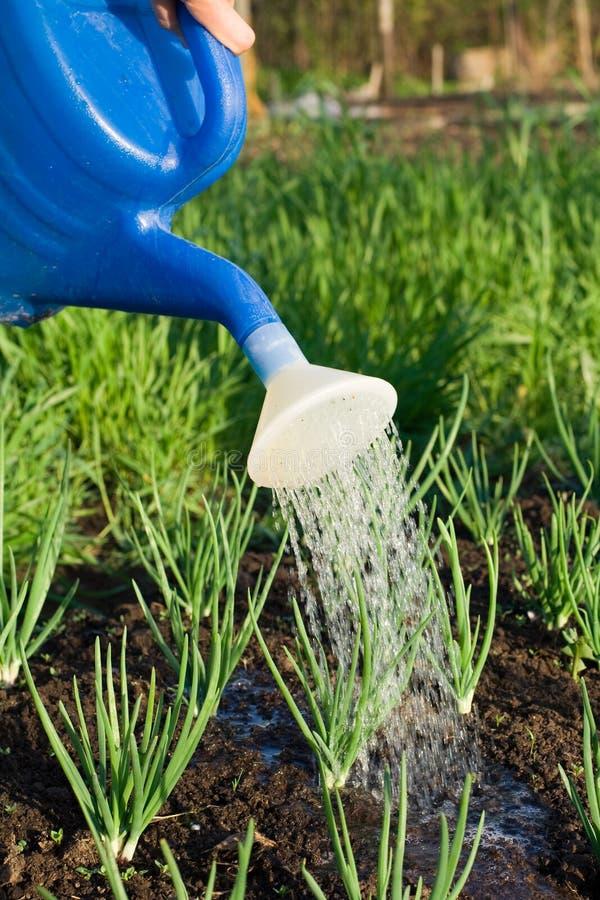 Download Cl Ogrodowy Cebulkowy Wiosna Warzywo Nawadniał Zdjęcie Stock - Obraz złożonej z zakończenie, disperser: 13335074
