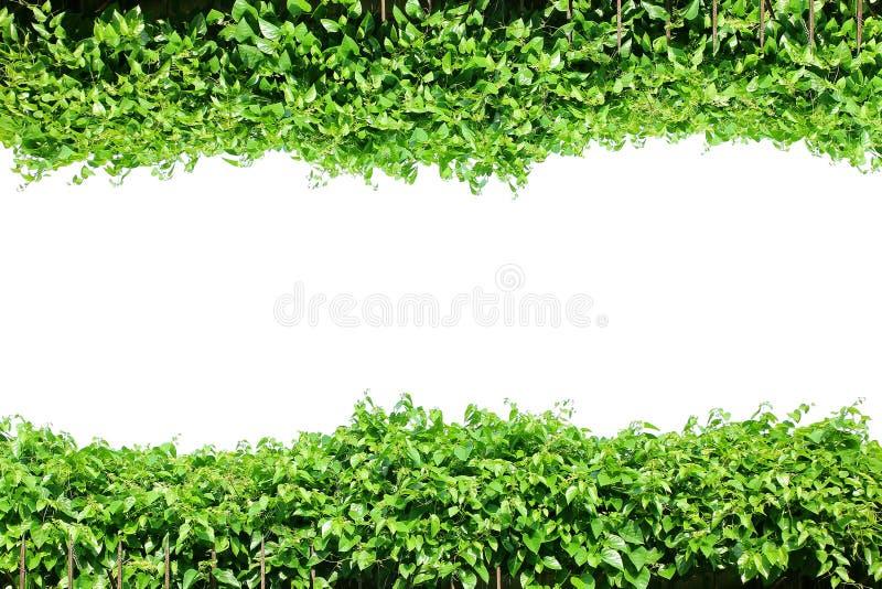 Clôturez les feuilles vertes, frontière de cadre d'usine, jardin de mur de vignes, arbre d'isolement photographie stock libre de droits