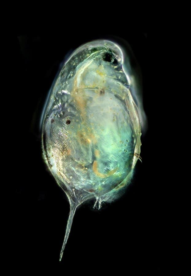 Cladocera - dafnia zdjęcie royalty free