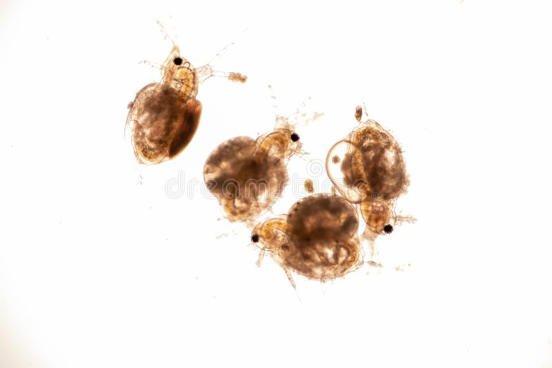 The Cladocera are an order of small crustaceans commonly called water fleas. The Cladocera are an order of small crustaceans commonly called water fleas on the royalty free stock images