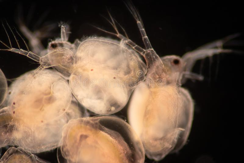 The Cladocera are an order of small crustaceans commonly called water fleas. The Cladocera are an order of small crustaceans commonly called water fleas on the royalty free stock image