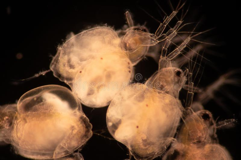 The Cladocera are an order of small crustaceans commonly called water fleas. The Cladocera are an order of small crustaceans commonly called water fleas on the stock image