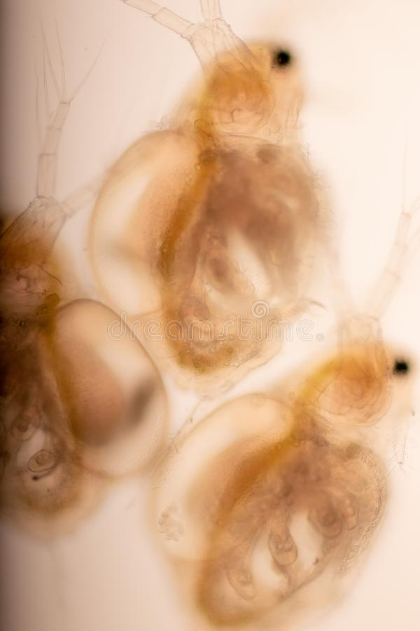 The Cladocera are an order of small crustaceans commonly called water fleas. The Cladocera are an order of small crustaceans commonly called water fleas on the royalty free stock photo