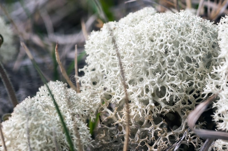 Cladonia rangiferina. Also known as reindeer lichen (c.p. Sw. renlav), lat., is a light-colored, fruticose lichen belonging to the Cladoniaceae family. It stock images