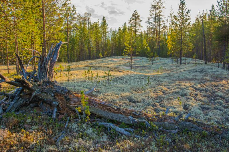 Cladonia stellaris in the polar forest. Yamal. Nadym. Arctic. Nature royalty free stock images