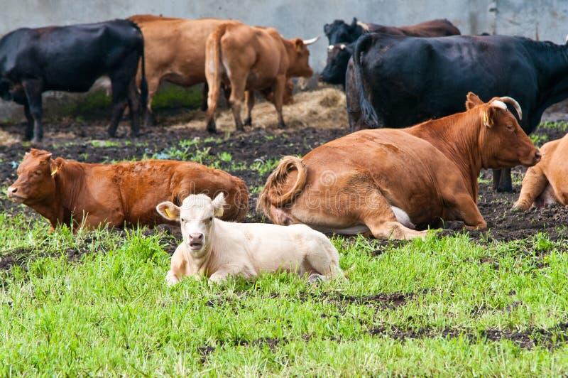 Claf et vaches à l'exploitation laitière photographie stock