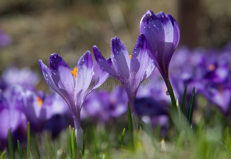 Clairière de crocus La fleur trois la plus proche dans l'acuité photo stock