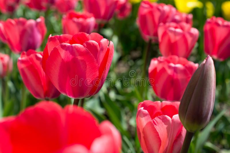 Clairière des tulipes d'écarlate images libres de droits