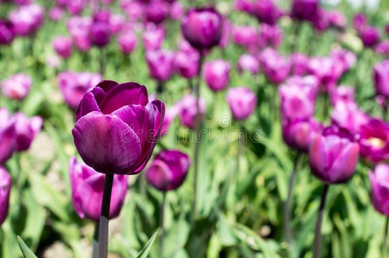 Clairière des tulipes pourpres images stock