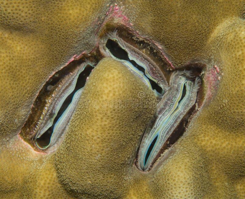 Clam коралла стоковые фотографии rf