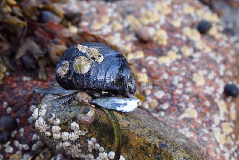 Clam на национальном парке Acadia стоковая фотография rf