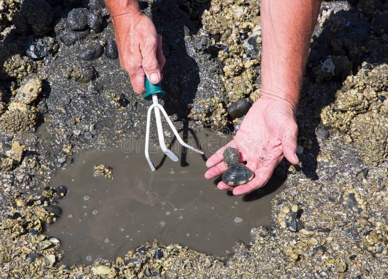 Clam Digging stock foto