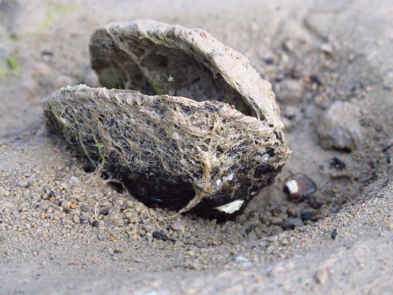 Clam on sandy beach at lake. With moos grown on it stock photo