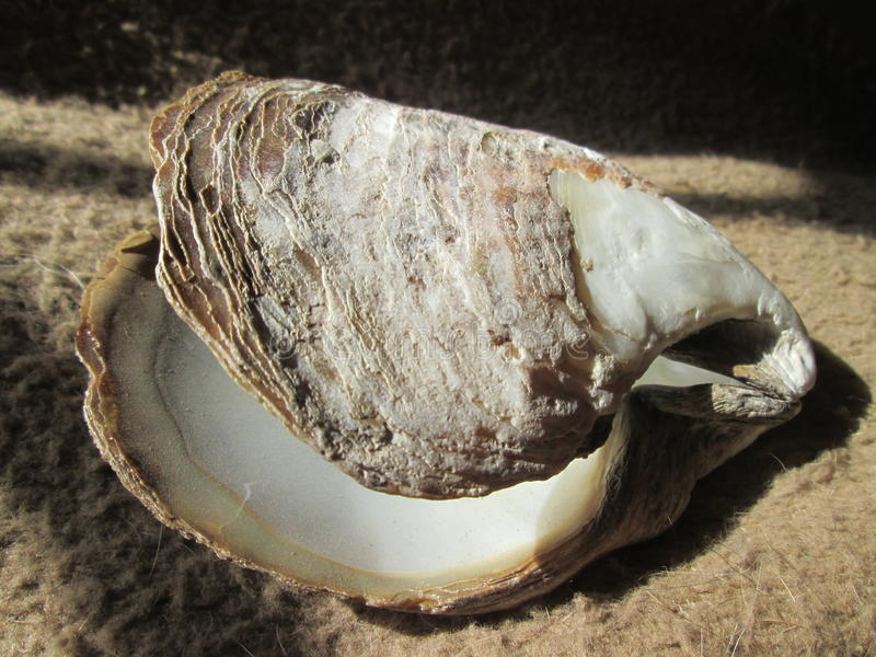 Shell. royalty free stock images